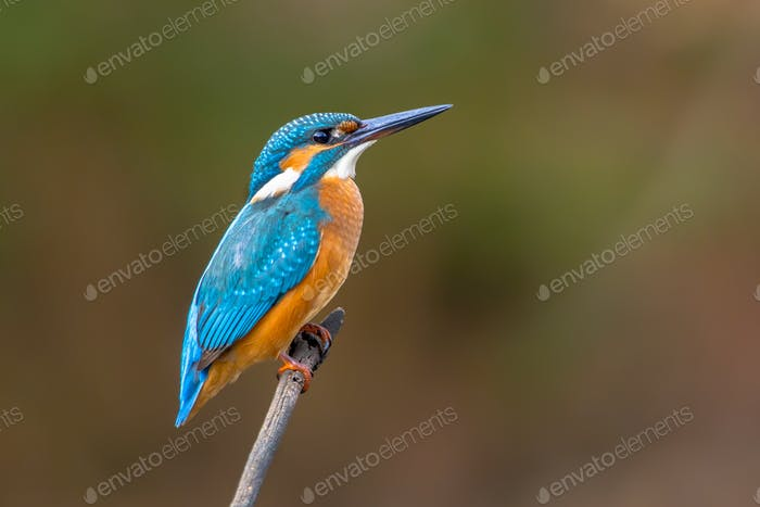 Common European Kingfisher