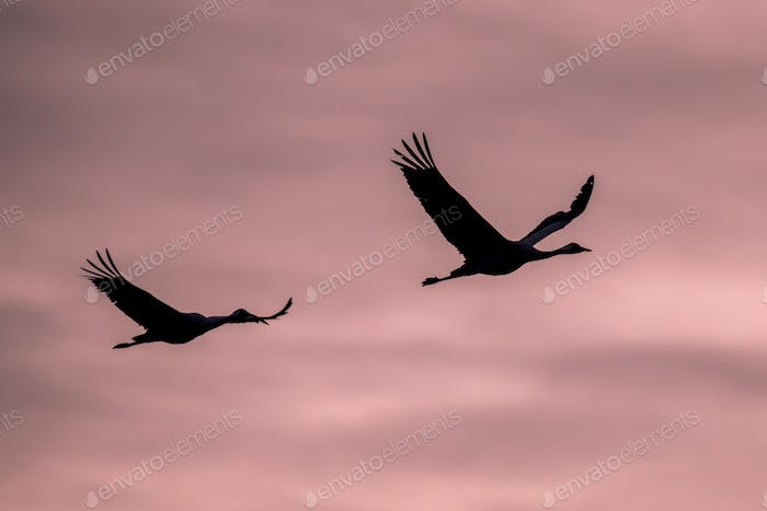 Two Migrating Eurasian Cranes against pink sky