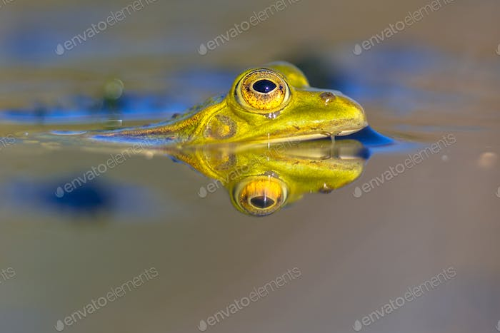 Pool frog head in water