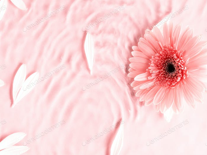Pink beautiful gerbera daisy flower on monochrome background in water with ripples and petals