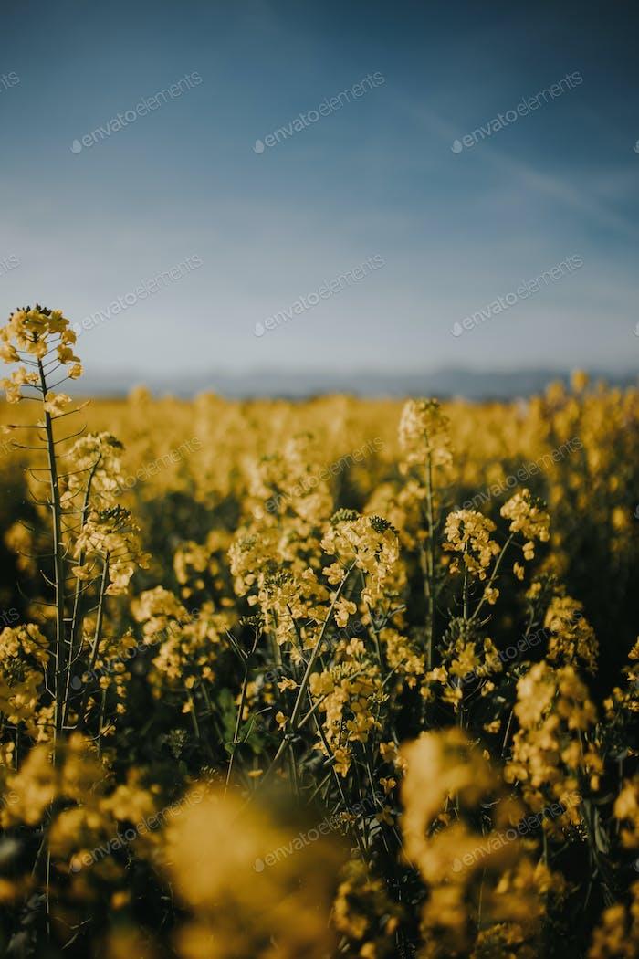 Yellow flowers in beautiful field