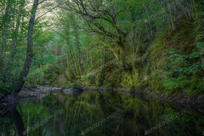 Ancient oaks reflect in the pool of a river