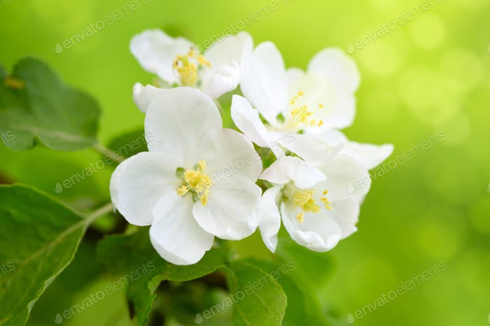 Apple flowers in the sunshine over natural green background