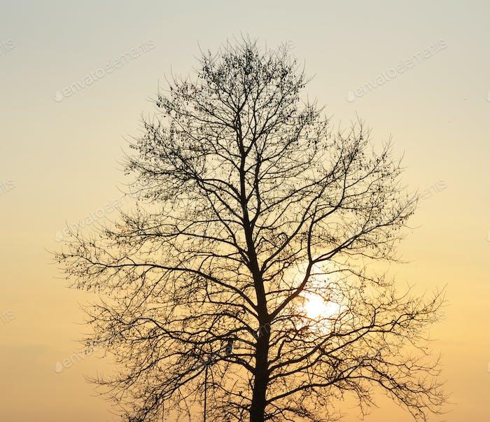 Silhouette of tree on sunset.