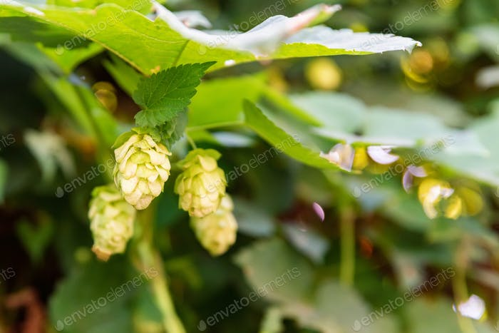 Close up green hop cones growing in nature