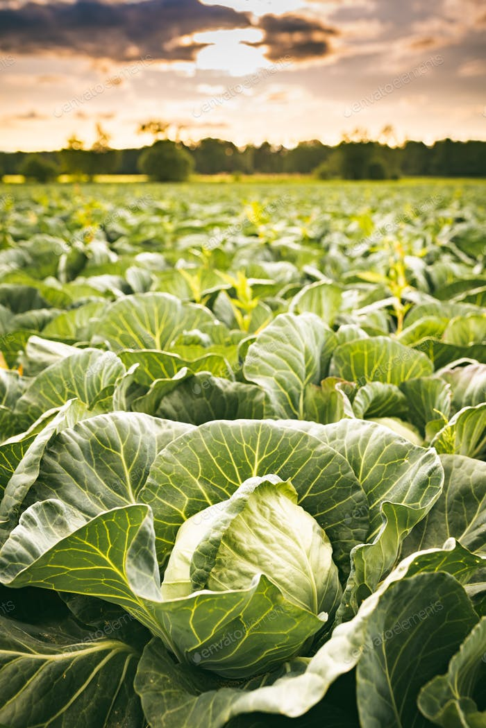 Cabbage field in a sunset light. Agriculture field in rural area.