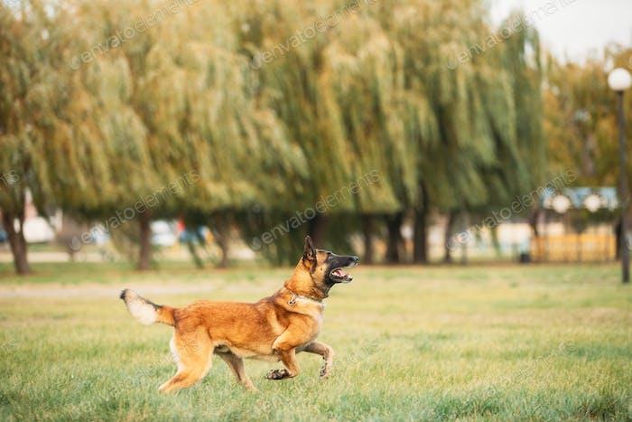Malinois Dog Play Jumping Laufen Outdoor Im Park. Belgischer Schäferhund sind aktiv, intelligent
