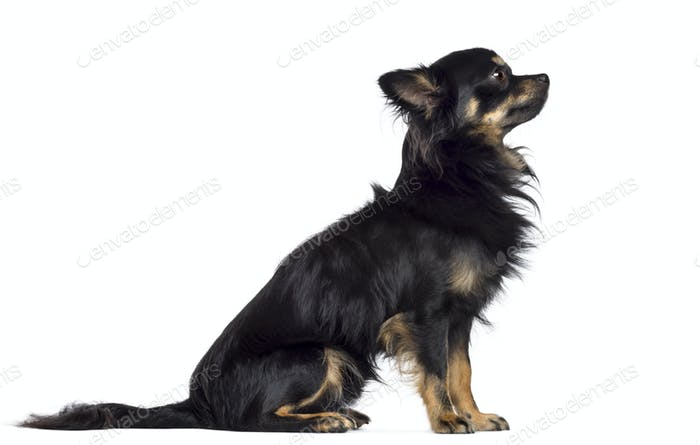 Side view of Chihuahua, 1.5 years old, sitting and looking up against white background
