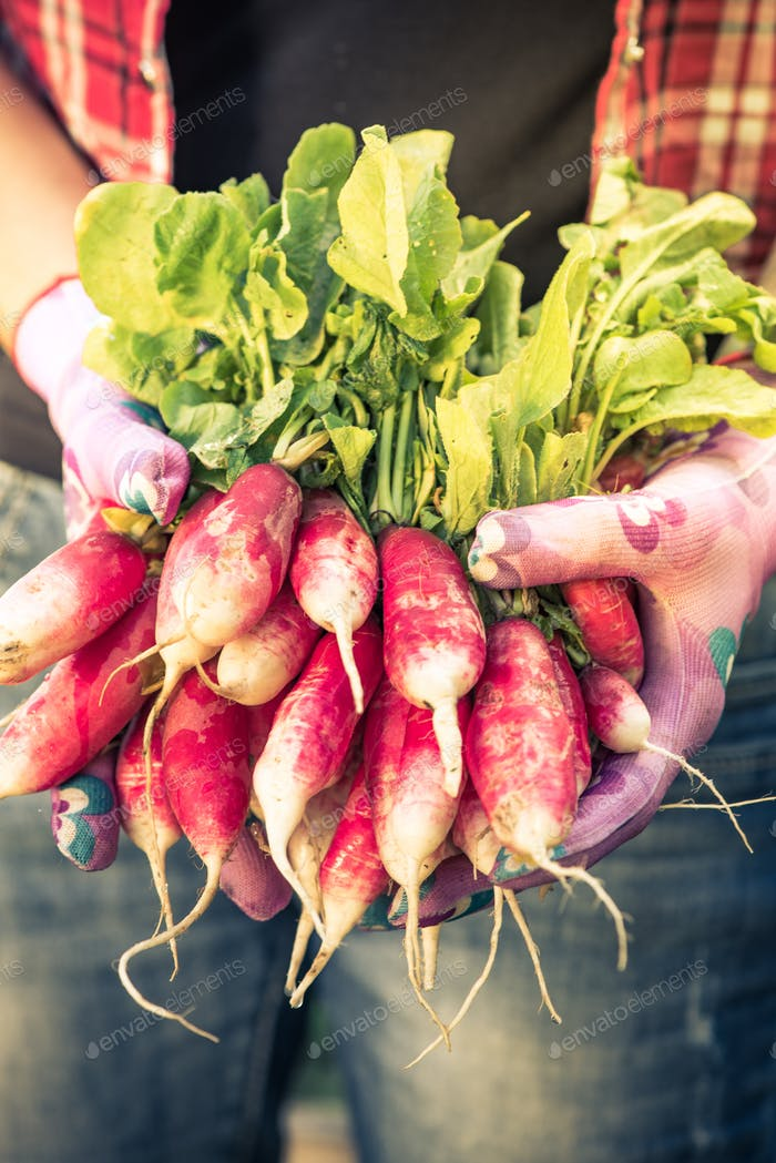 Thumbnail for Close up on freshly picked radish,toned image