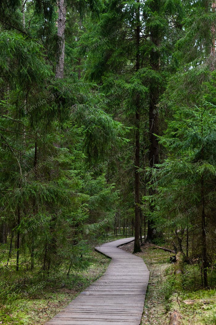 Ecological footpath in national park through old coniferous spruce forest