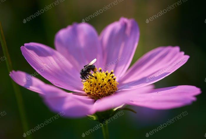 Bee on yellow pollen of pink flower