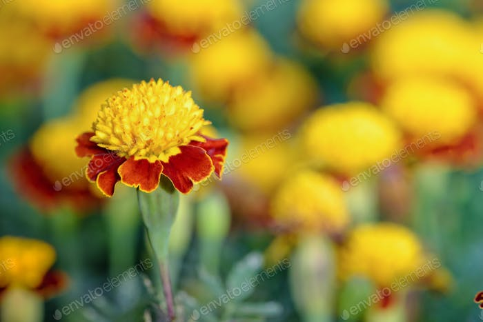 Tiger Eye French Marigold