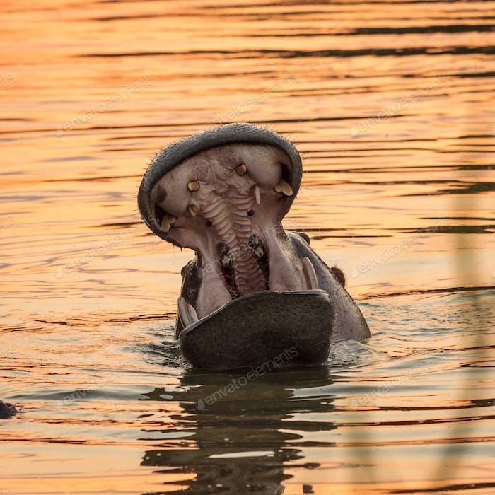 Hippopotamus amphibius. Wild animal in the nature habitat. African wildlife. This is Africa.