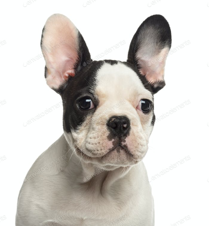 Close-up of a French Bulldog puppy looking away