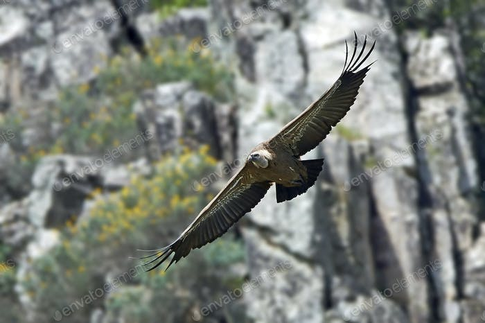 Griffon vulture (Gyps fulvus) in its natural enviroment