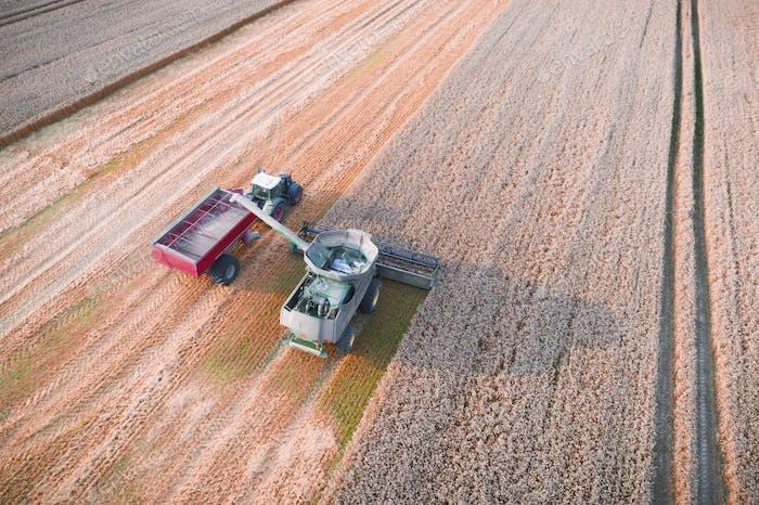 Harvesting wheat in autumn field