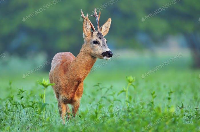 Wild roe deer
