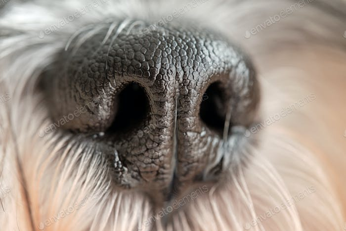 Muzzle of little purebred dog with long coat