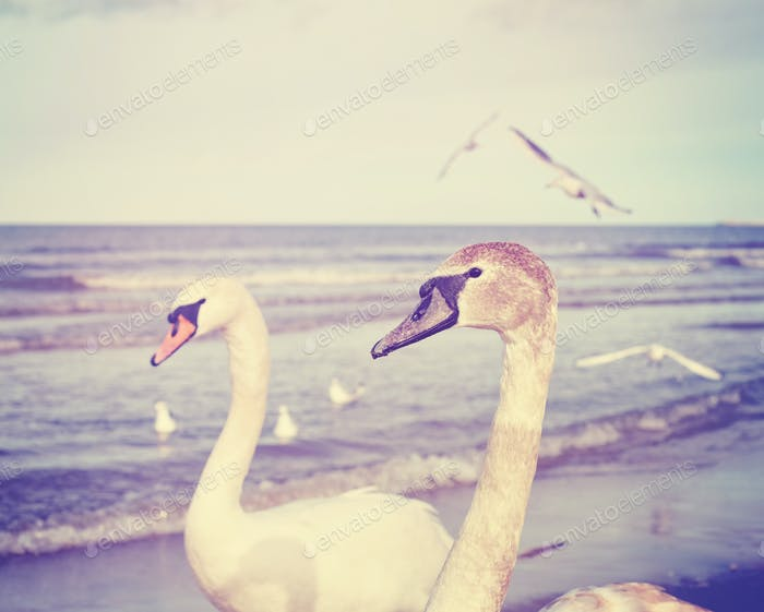 Vintage toned picture of two mute swans on a beach.