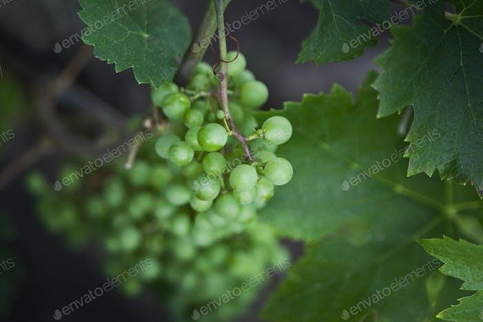 Grüne Trauben im Sommer