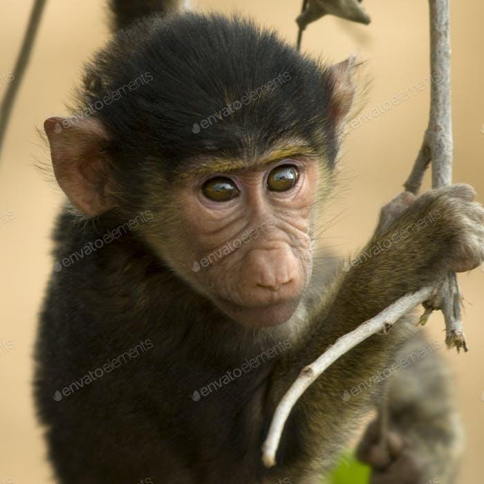 Close-up of macaque, Tanzania, Africa