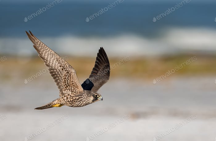 Peregrine Falcon Flying on the Beach