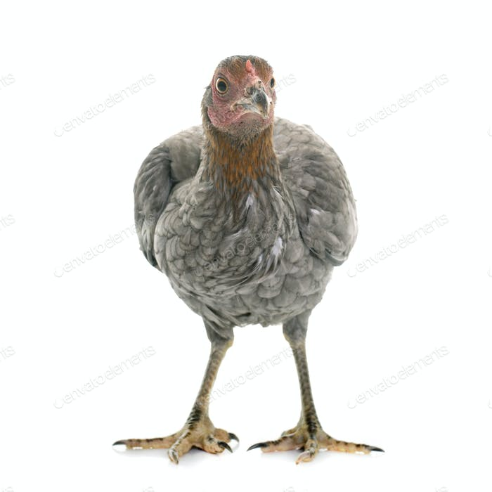 hen spanish Gamecock