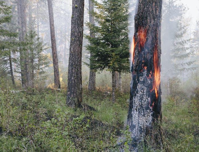Una quemadura forestal controlada, un incendio deliberado para fomentar el rebrote