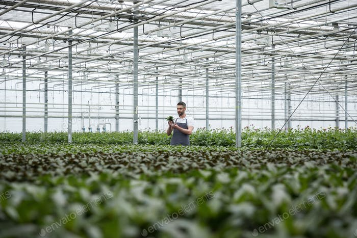 Concentrated young man standing in greenhouse near plants