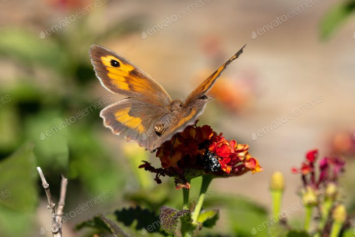 Closeup view of a butterfly on a red orange color blossom in spring
