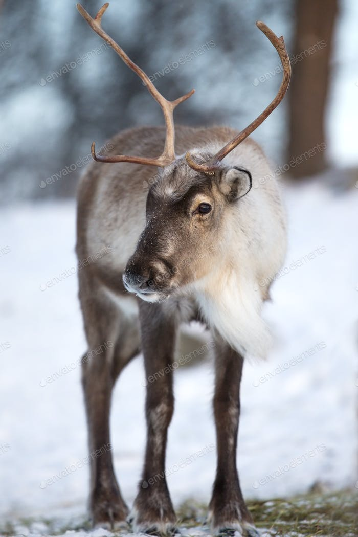 Reindeer eating the winter forest