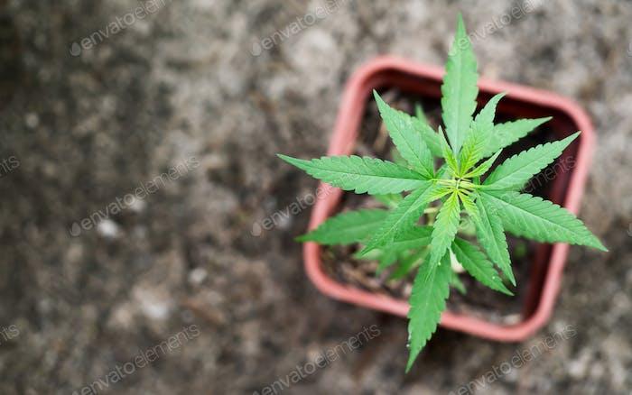 Marijuana in pod
