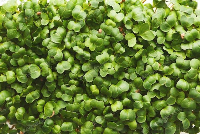 Organisch wachsende Mikro-Grüns Nahaufnahme