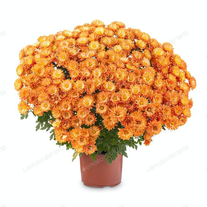 Orange Chrysantheme in einem Topf