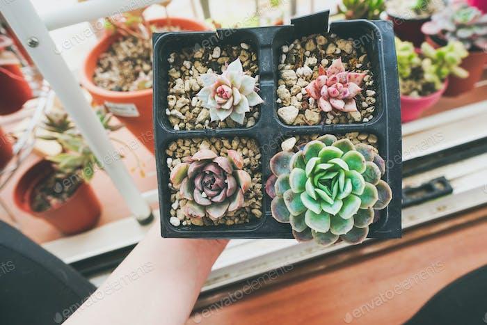 Little garden of mixed succulent plants