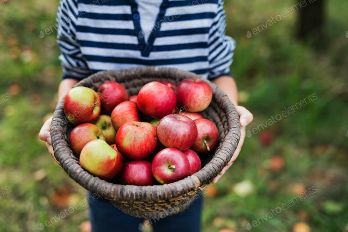 An unrecognizable small boy holding a basket full of apples in orchard.