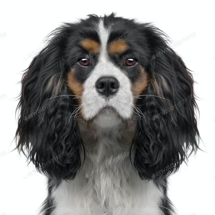 Cavalier King Charles puppy (10 months) (Digital enhancement)