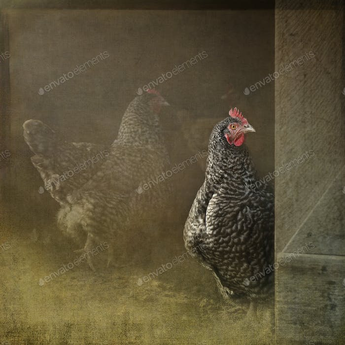 Composite of a Plymouth Rock hen gazing out from a hen house