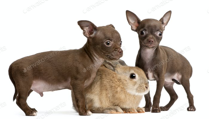 Chihuahua puppies, 10 weeks old, and rabbit in front of white background