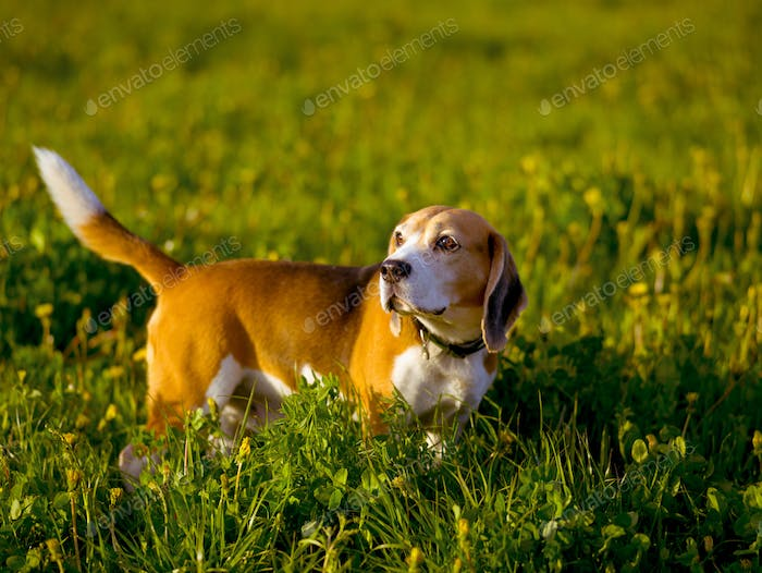 Beagle hunting dog for a walk in the field