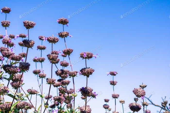 Cleveland sage (Salvia clevelandii) flowers on a blue sky background, California