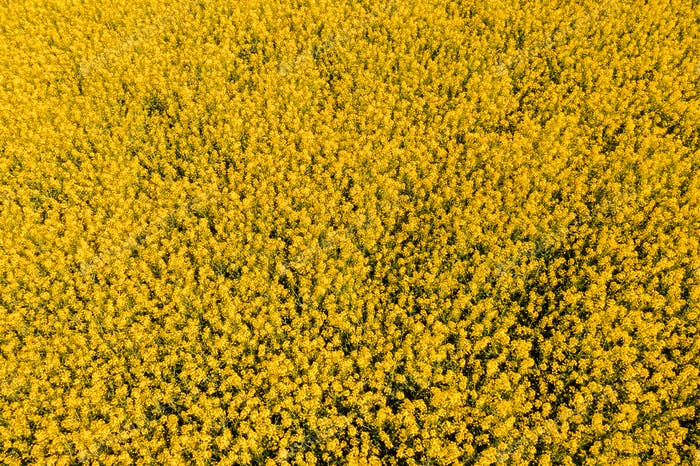 Luftaufnahme des Ölrapsfeldes in voller Blüte