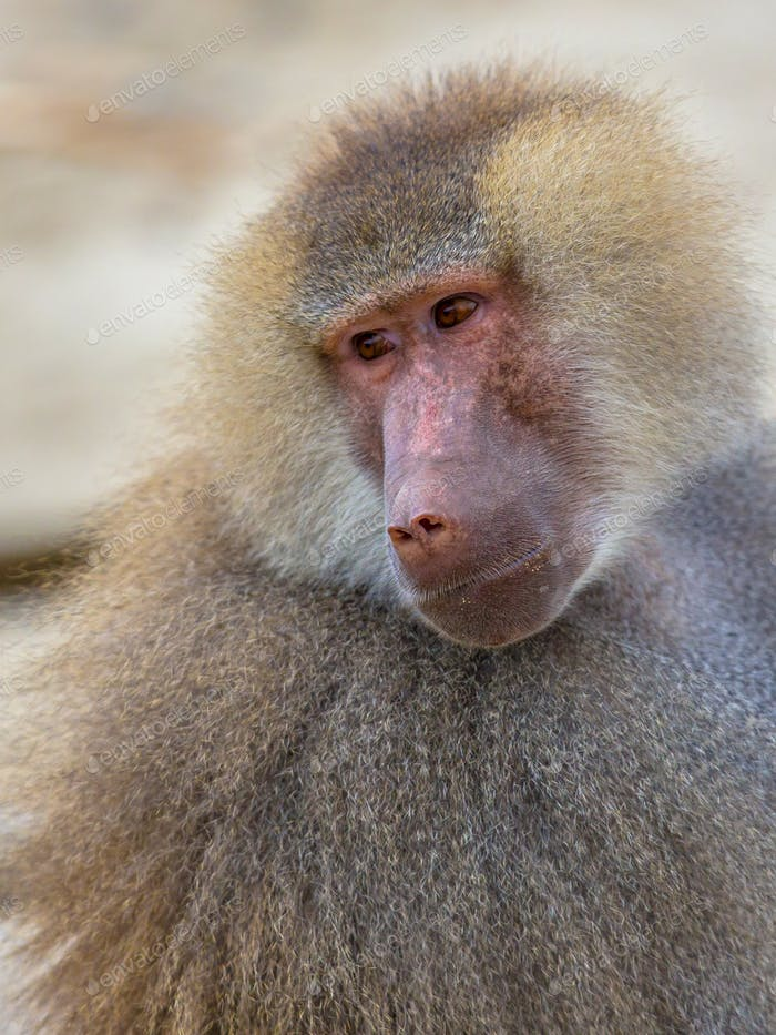 Portrait of Hamadryas baboon