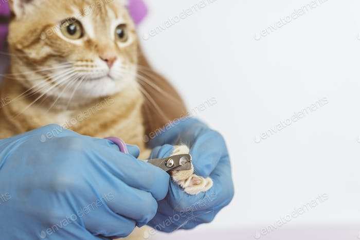 Veterinarian doctor trimming nails of the cat.