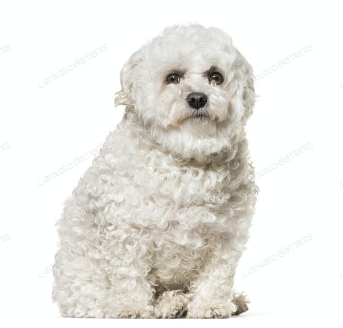 Maltese dog sitting, cut out