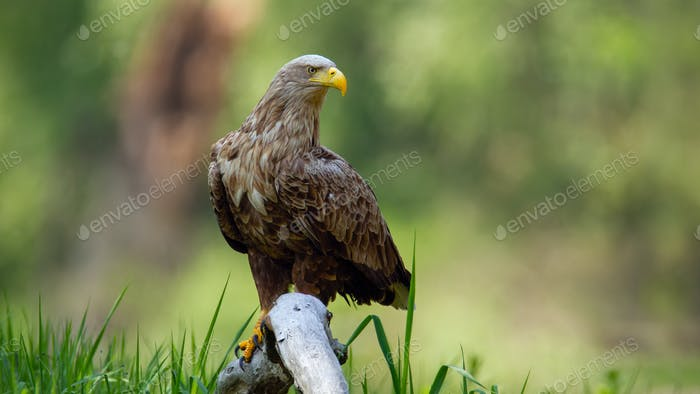 Adult white-tailed eagle sitting on bough low above ground in floodplain forest