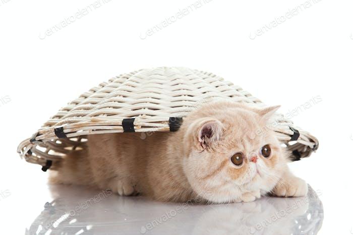 Exotische Kurzhaar Katze. Lustige verspielte Katze