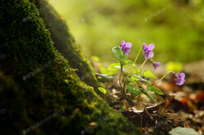 Violet on the spring forest