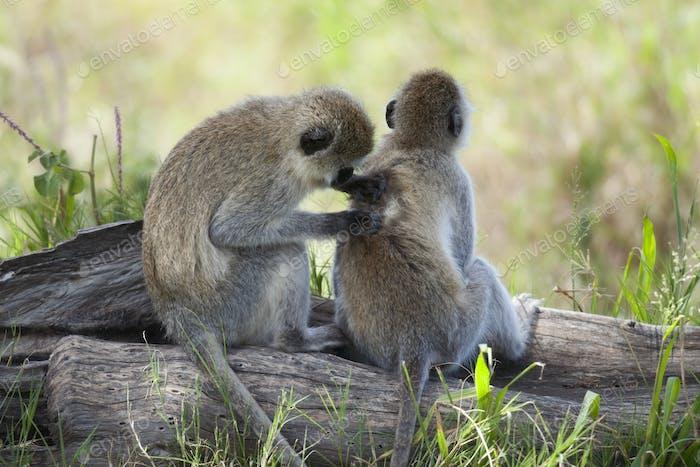 Vervet Monkeys, Chlorocebus pygerythrus, in Serengeti National Park, Tanzania, Africa