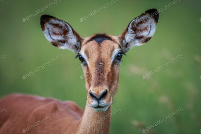 Female Impala starring at the camera.